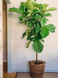 tall decorative house plants house interior