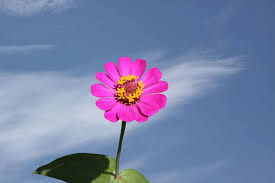 flower pic zinnia flower meaning flower meaning