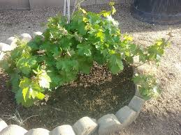 How To Grow Grapes In Your Backyard by Grapevine Transplant Info Moving Grapevine Roots Or Starting New Ones