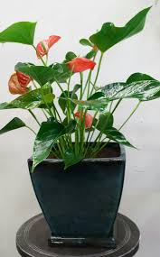 best house plants 2 peace lily 3 janet craig flower of the