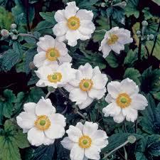 anemone honorine jobert anemone x hybrida honorine jobert at