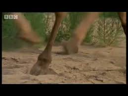 woolly mammoths suffered genetic u0027meltdown u0027 extinction