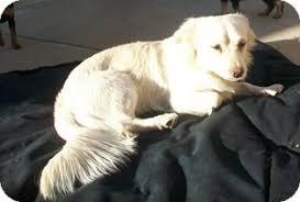 types of american eskimo dogs crash adopted dog tustin ca american eskimo dog spaniel