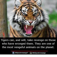 Revenge Memes - tigers can and will take revenge on those who have wronged them they