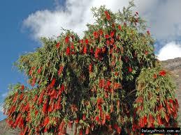 callistemon viminalis weeping bottlebrush tree