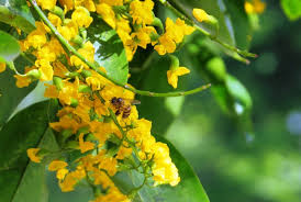 Yellow Flowering Trees - 9 philippine native trees better than cherry blossoms