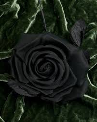 Black Rose Flower 14 Best Black Rose Images On Pinterest Black Roses Black