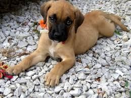 australian shepherd boxer mix black boxer golden retriever mix photo happy dog heaven