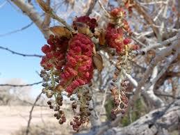 Cottonwood Tree Flowers - rio grande cottonwood populus fremontii