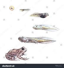 frog life cycle illustration hand drawn stock illustration