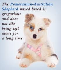 australian shepherd traits aussi em poms aussiepoms