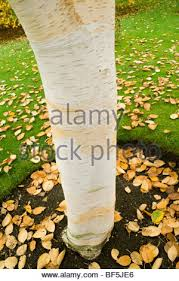 ornamental birch tree botanical gardens park bath