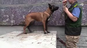 belgian shepherd malinois pronunciation dog training how to teach commands sit down and stand youtube