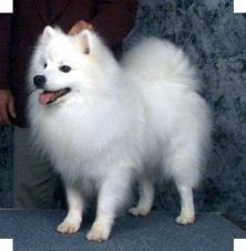 american eskimo dog toy for sale american eskimo dog for sale local puppy breeders with american