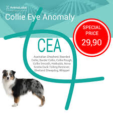 australian shepherd eye diseases collie eye anomaly dna test special offer animalabs