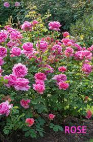 Fragrant Flowers 20 Best Beautiful Fragrant Flowers In The World Home Gardeners