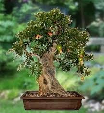 25 trending bonsai fruit tree ideas on bonsai tree