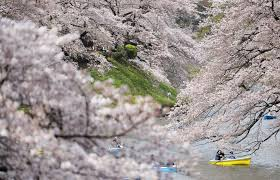 sakura supreme best parks for cherry blossom viewing in tokyo