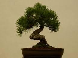 Types Meaning Best 25 Types Of Bonsai Trees Ideas On Pinterest Bonsai Tree