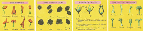 Reproduction In Flowering Plants - reproduction in flowering plants