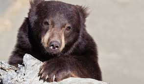 Are Bears Color Blind Black Bear Animal Ark