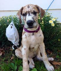 Great Dane Home Decor Cute Great Dane Puppy Photo Breed Board Great Danes Pinterest