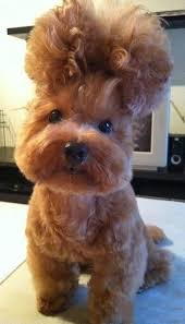 hair accessories for yorkie poos the 25 best yorkie poo haircut ideas on pinterest yorkie