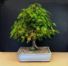 pot bonsai design japanese mountain maple bonsai tree acer palmatum flickr