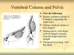 Human Vertebral Column Anatomy Comparative Primate Anatomy