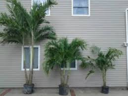 current palm trees in stock palm trees for sale