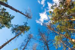 imagenes de bottom up pine tree perspective bottom up stock photos 30 images
