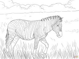 burchell u0027s plain zebra coloring page free printable coloring pages