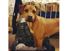 american pitbull terrier rhodesian ridgeback mix lost pets near dallas tx