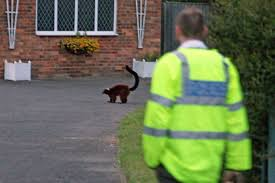 lemur escapes from colchester zoo and causes chaos with police and