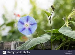 ipomea u0027inkspots u0027 morning glory flower on a garden trellis uk