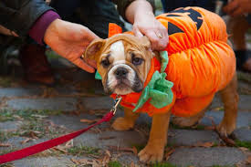 Halloween Costumes English Bulldogs Dog Halloween Costumes Torture Harm Pet