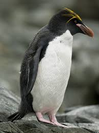 macaroni penguin penguin facts and information