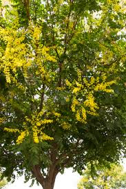 golden rain tree feed with a general purpose fertilizer before