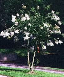 25 unique crepe myrtle trees ideas on crepe myrtle