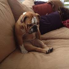 Sitting Meme - dogs sitting like humans y so serious