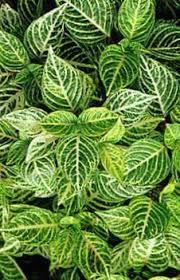 buy ornamental plants bloodleaf chicken gizzard leafy