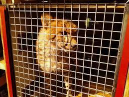 zoo miami u0027s new cheetah ambassadors arrive from s africa cbs miami