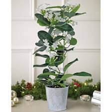stephanotis the madagascar jasmine christmas gift all