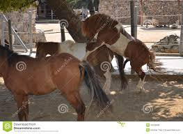 mustangs mating horses mating season stock photo image 43538006
