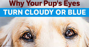 Blind Dog Eye Discharge 5 Diseases That Cause Blue Eyes In Dogs