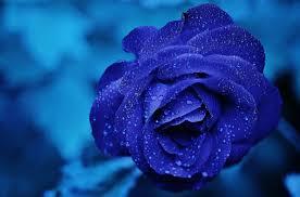 Flower Love Pics - free photo burgundy rose blooms blue love rose flower roses max