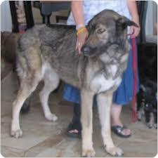 belgian shepherd malinois mix tan gray black german shepherd irish wolfhound belgian malinois