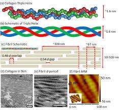 D Collagen structural hierarchy of fibrillar collagen a in collagen