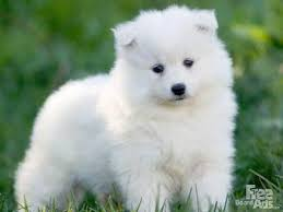 pictures of a american eskimo dog best 20 samoyed dogs ideas on pinterest samoyed dog samoyed