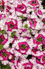 20 best hanging baskets images on pinterest plants flowers and